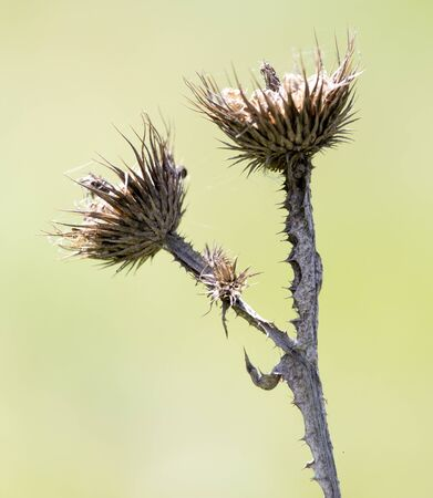 thorn: dry thorn in nature