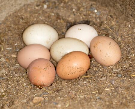 henhouse: Chicken eggs in the henhouse Stock Photo