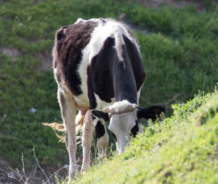 heffer: cow grazing on nature Stock Photo