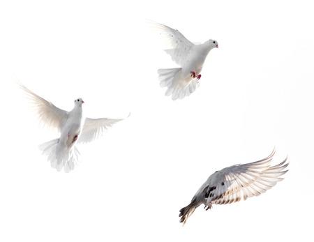 paloma en el fondo blanco Foto de archivo