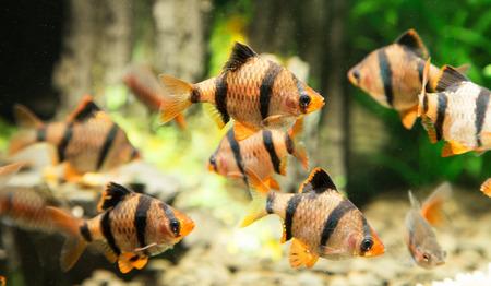 tropical fresh water fish: fish in an aquarium