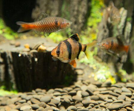 barbus: fish in an aquarium