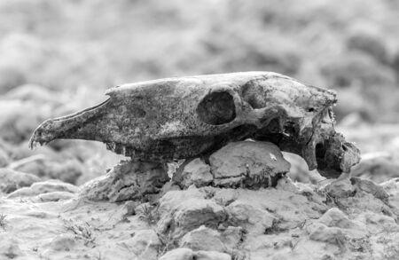 mongolia horse: skull horse on nature