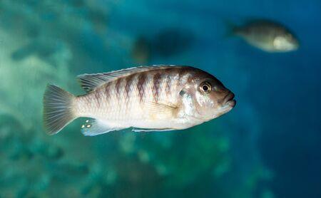 ichthyology: fish in an aquarium