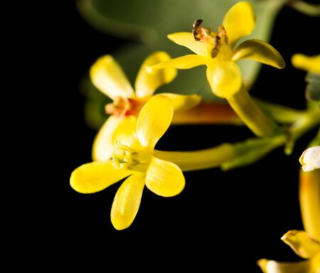 cowslip: beautiful little yellow flower in nature Stock Photo