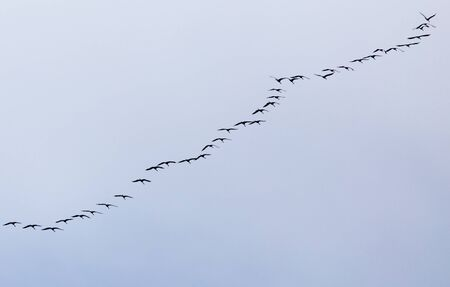 a flock of swans on the blue sky photo