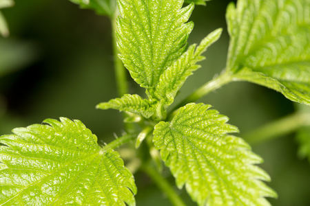 nettle leaves in nature. close-up photo