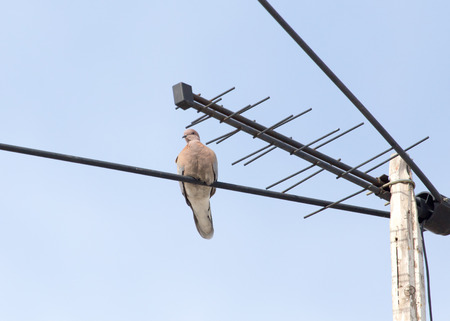 constituting: pigeon on the antenna