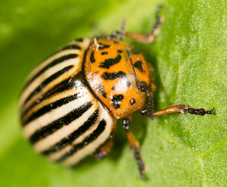 insecta: Colorado potato beetle on a green leaf.