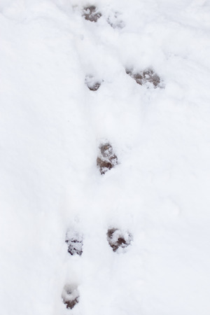 paw prints on fresh clean snow photo