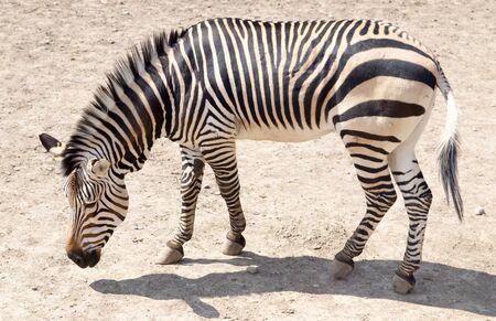 zoo: cebra en el zoológico