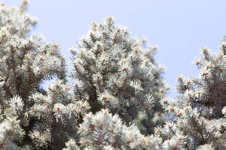 picea: blue spruce branch on the nature