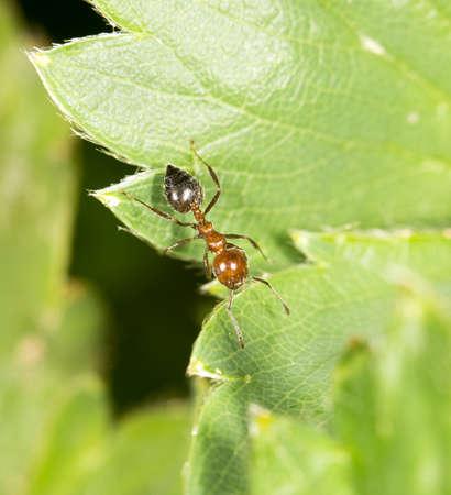 hormiga hoja: hormiga en la hoja verde en la naturaleza. primer plano