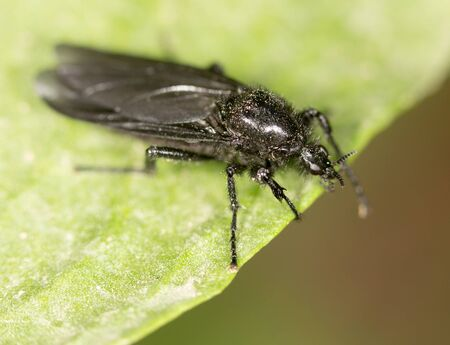 nude outdoors: black fly on a green leaf. close-up Stock Photo
