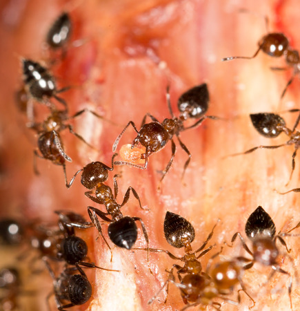 crawly: ants on the meat. close-up