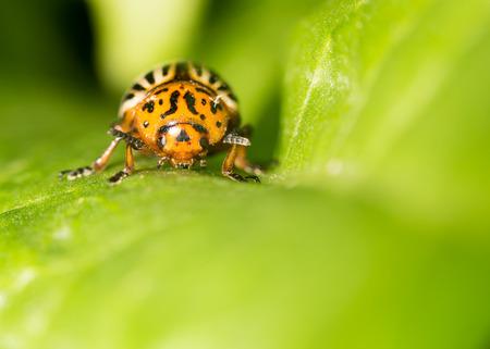 insecta: Colorado potato beetle on a green leaf. close Stock Photo