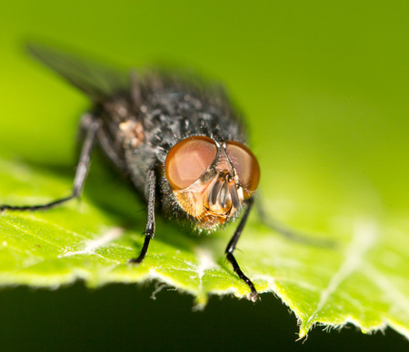 wet flies: Fly on a green leaf. close