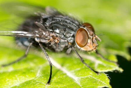 housefly: Fly on a green leaf. close