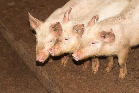 3 little pigs: Three little pigs on the farm
