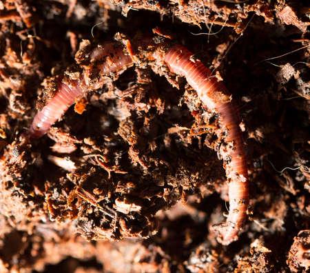 gusanos: Gusanos rojos en el compost - cebo para la pesca