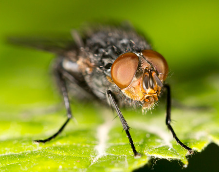 housefly: Fly on a green leaf.