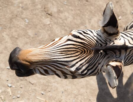 burchell: Zebra Stock Photo