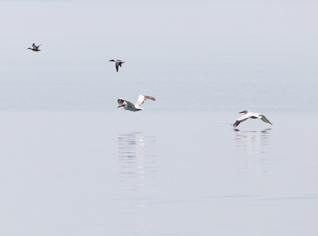 trumpeter swan: Birds fly over the surface of the water