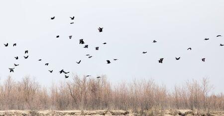 cuervo: una bandada de cuervos en el cielo en las ramas desnudas de los �rboles Foto de archivo