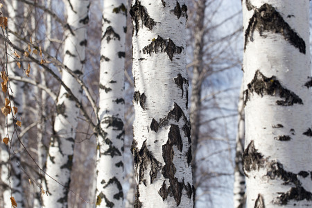Birch trunk in de natuur Stockfoto