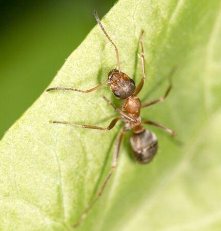 hormiga hoja: Hormiga en una hoja verde.