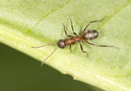 antrey: Ant on a green leaf.  Stock Photo