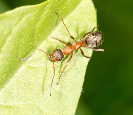 antrey: Ant on a green leaf. close