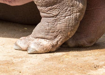 hippopotamus: Pierna Hippopotamus
