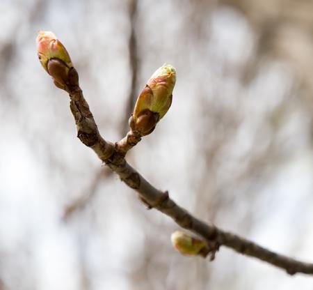 Swollen: Swollen buds on the tree