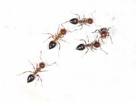 hormiga: Hormigas en una pared blanca