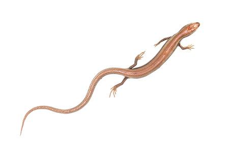 enceinte: Lizard on a white