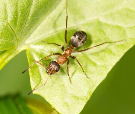 hormiga hoja: Hormiga en una hoja verde. cerca Foto de archivo
