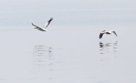 cygnus buccinator: Birds fly over the surface of the water