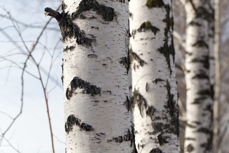 trees photography: birch trunk in nature