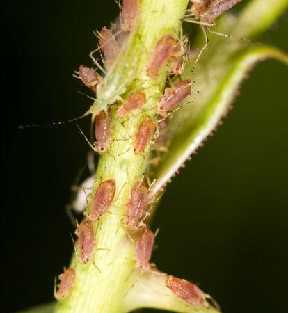parasites: aphids on the plant. close