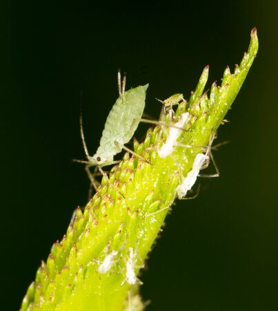 tiny lenses: aphids on the plant. close