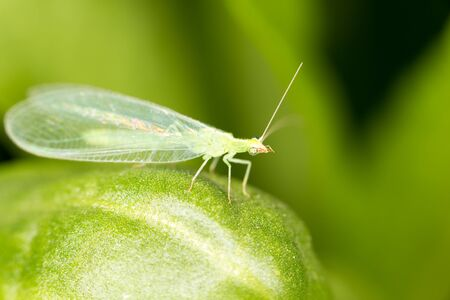 insecta: Green leaves taken lacewing flies, close-up images