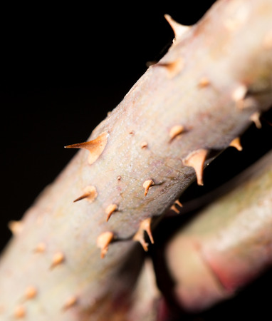spines: spines on the branch. close-up