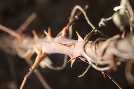 fabales: thorns on a branch plant