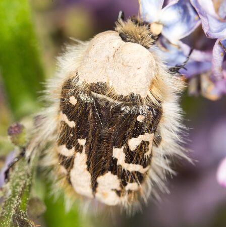 scarabaeidae: Beetle on a flower lilac. close