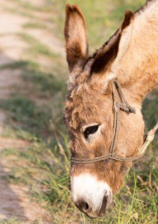 burro: Burro comiendo hierba Foto de archivo
