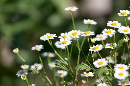 daisy stem: daisy flowers in nature