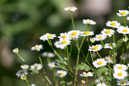 marguerite: fleurs marguerite dans la nature
