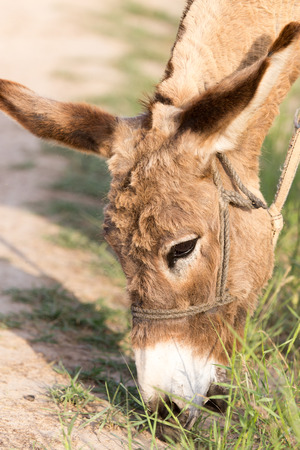 grosse fesse: Donkey manger de l'herbe