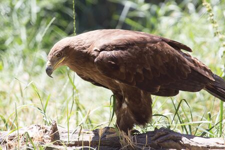falco peregrinus: Eagle in a park on the nature